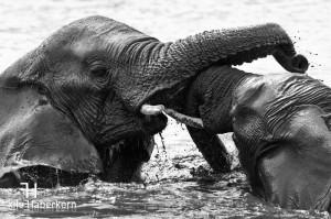 Kampf zweier Elefantenbullen