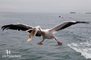 Pelikan im Hafen von Walvis Bay